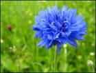 Bleuet des champs par Francine ANCEL sur L'Internaute