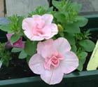 Surfinia Victoria rose pâle par Dany LANGE sur L'Internaute