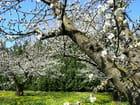 Cerisiers en fleurs - Jean-Marie BERTRAND