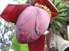 banana - Michel-Marie Solito de Solis
