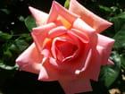 Rose de mon jardin 2 - Fanny Diaz