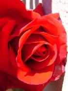 Rose rouge - Tinou grossbery