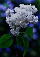 Lilas blanc - aldo bertotti