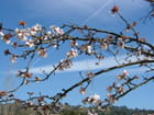 Cerisier en fleur - Martine LELUBRE