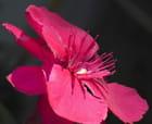 Pistils de fleur de laurier rose - Huguette Roman