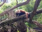 Panda roux - Andre ENEE