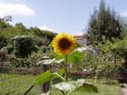 Fleur de tournesol - marie-claire nocaudie
