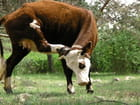 Contorsions bovines... - Bernard MATTEI