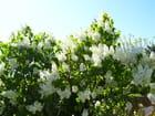 Toujours mon lilas blanc -