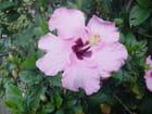 Hibiscus rose - Marijo PETITJEAN