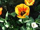 Tulipes - jean guerin-loury