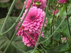 Dahlia rose - Patrice PLANTUREUX