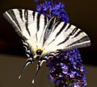 Papillon Machaon - Huguette Roman