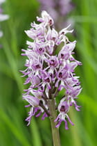 Orchis singe - Christophe TAAMOURTE