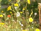 Pissenlits - marie jose derel