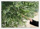 Cueillette des olives - Jean pierre TOLOMIO