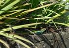 Lézards verts du Tarn -