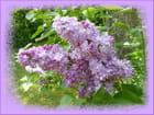 Parfum de lilas - Jacqueline DUBOIS
