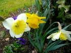 Jaune, comme les jonquilles de mon jardin. - Jacqueline DUBOIS