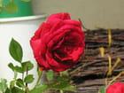 Rose rouge - Magdelène Oncle