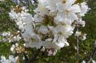 Fleurs de cerisier - Solange Abraham