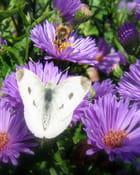 Le pollen des asters est prisé! par Malou TROEL sur L'Internaute