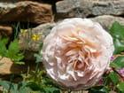 Rose pâle - Marie-Anne GERBE
