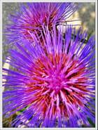Fleurs d\'artichauts - Jean pierre TOLOMIO