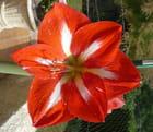 Fleur d'amaryllis - jacqueline laval