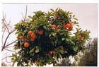 L'oranger par Genevieve LAPOUX sur L'Internaute