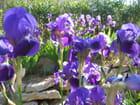 Un bouquet d'iris par Marie-france RAIMBAULT sur L'Internaute