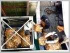 Les 1ères coquilles St Jacques arrivent - Anette MONTAGNE