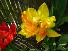 Tulipe jaune rouge - Joele OFMAN AUDOINE