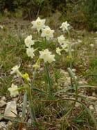 Narcisse à bouquets - raymond mingaud