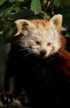 Petit Panda - christelle milesi