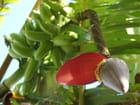 Fleur de bananier par Julie LAPORTE sur L'Internaute