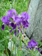 Iris en Brionnais - Marie-Anne GERBE