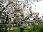 Cerisier en fleurs - Jacqueline DUBOIS