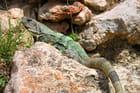 Iguane - Patrick Desmettre