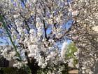 Cerisier en fleurs -