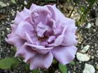 """Rose """"Charles de Gaulle"""" au pied de la croix de Lorraine par maryse rozerot sur L'Internaute"""