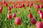 Tulipes de Carqueiranne -