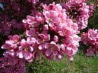 Fleurs de pommier par georgette bironneau sur L'Internaute