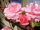 Les roses durent le temps... - Alain DEMOLY