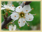 Fleur de Prunelier - robert buatois