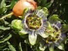 Fleurs de la passion - Claude BERTRAND