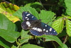 Papillon noir, Sylvain azuré - raymond mingaud