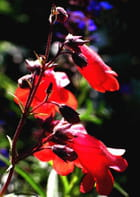 Grappe de fleurs - Huguette Roman