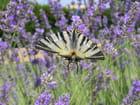 Papillon dans les lavandes - agnès MONTAGNER