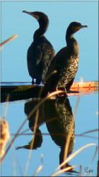Cormorans par line bouzaglou sur L'Internaute